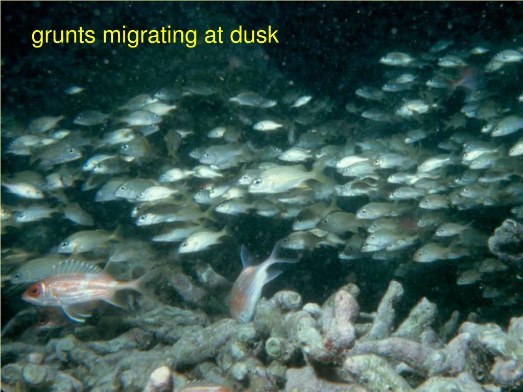 grunts migrating at dusk