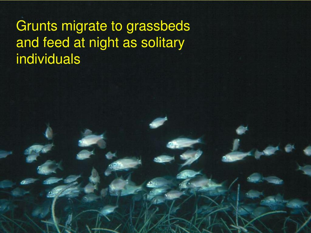 Grunts migrate to grassbeds and feed at night as solitary individuals