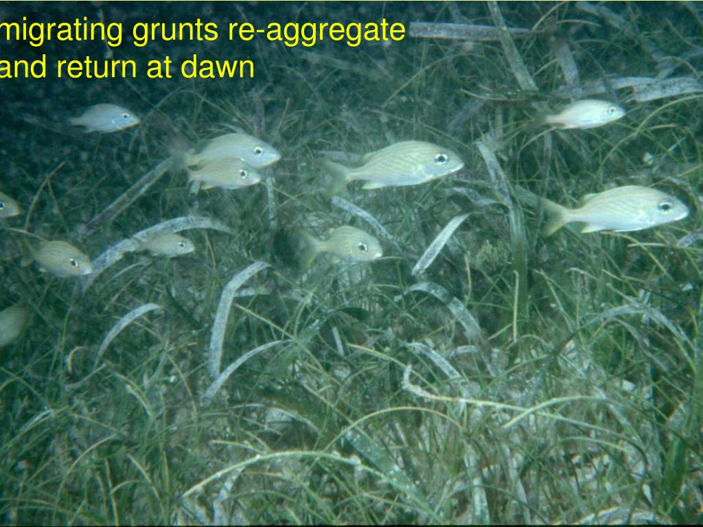 migrating grunts re-aggregate and return at dawn