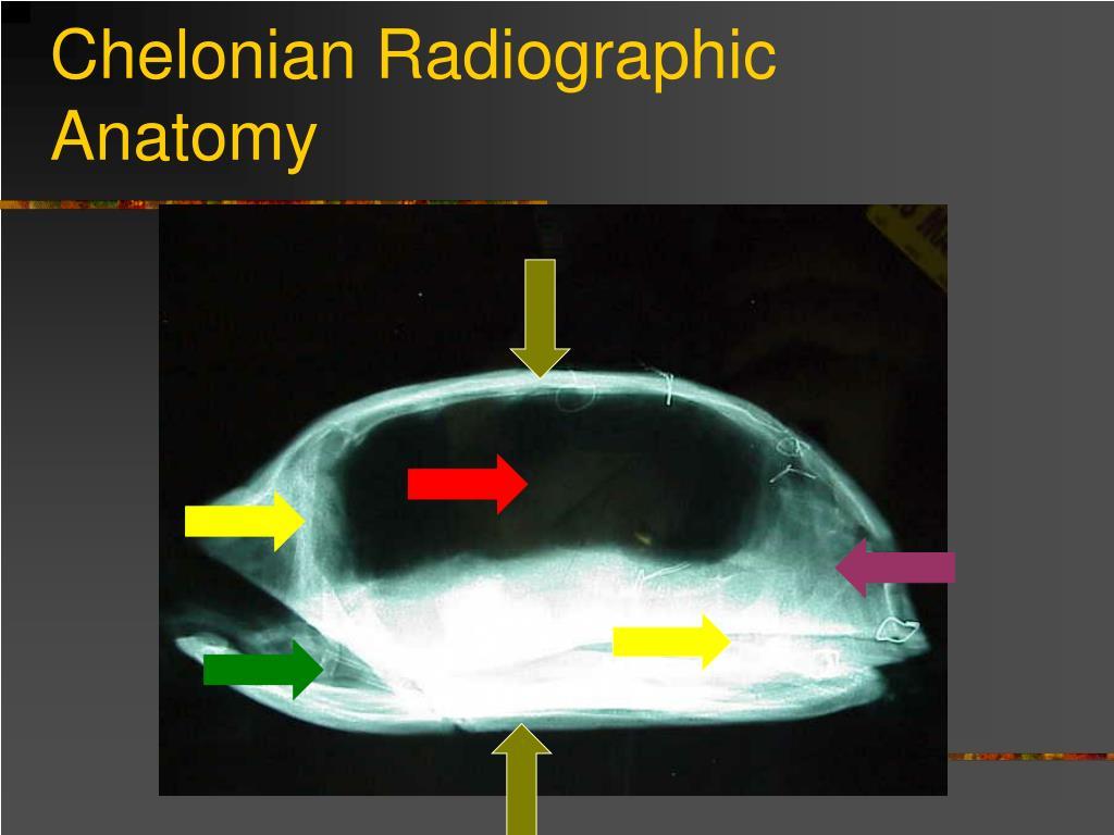 Chelonian Radiographic  Anatomy