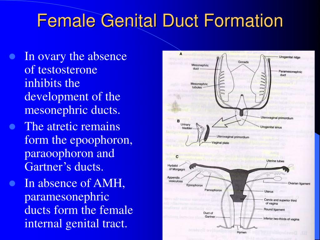 In ovary the absence of testosterone inhibits the development of the mesonephric ducts.