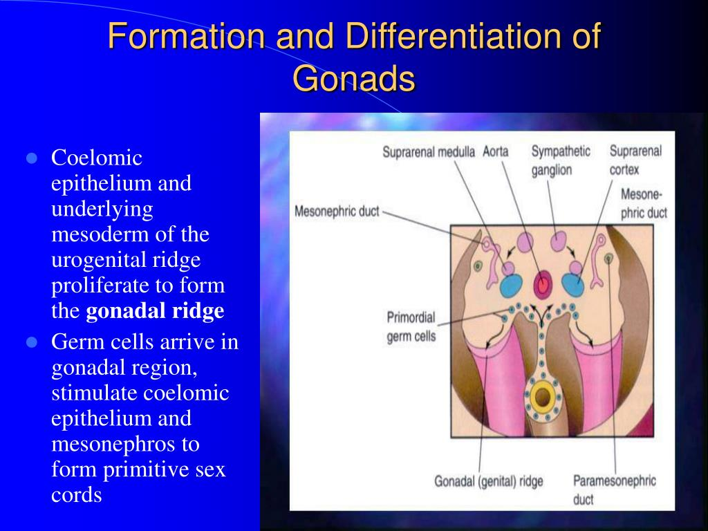 Coelomic epithelium and underlying mesoderm of the urogenital ridge proliferate to form the