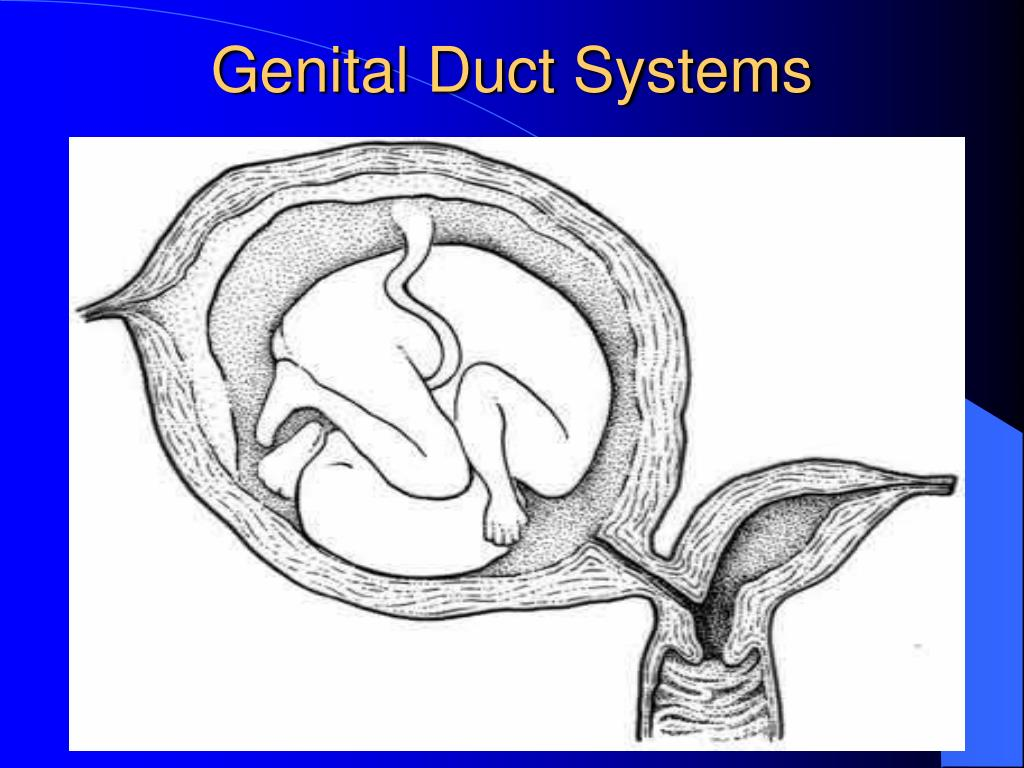 Genital Duct Systems