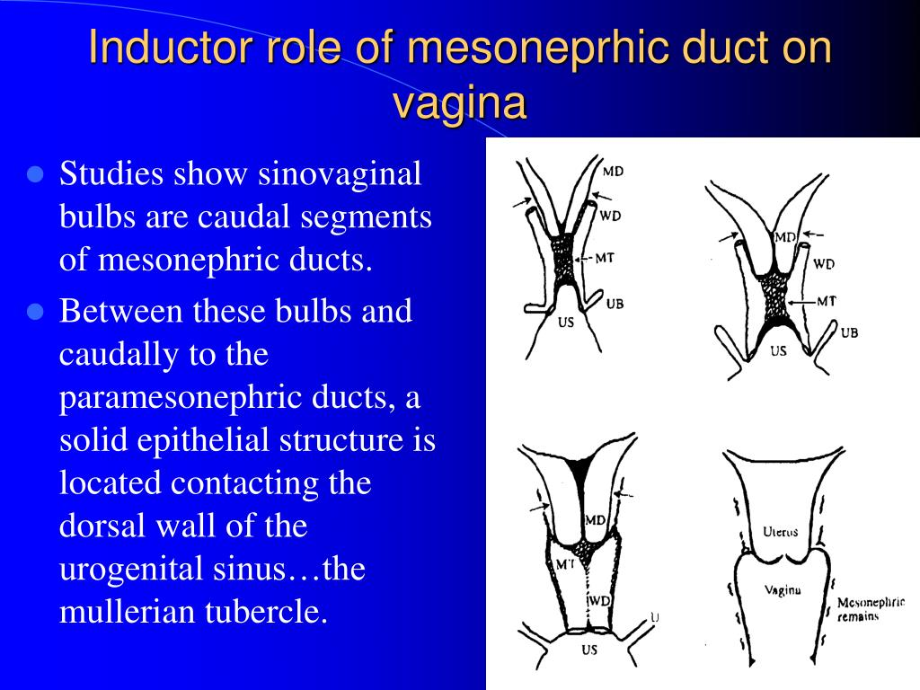 Studies show sinovaginal bulbs are caudal segments of mesonephric ducts.