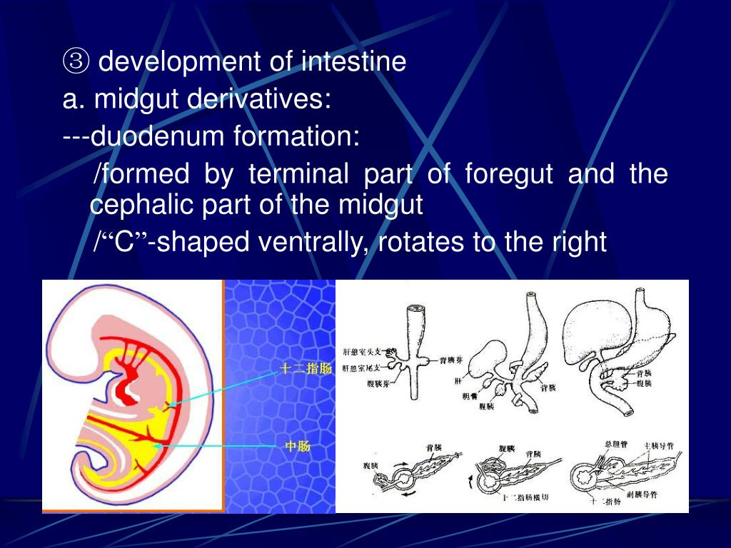 ③ development of intestine