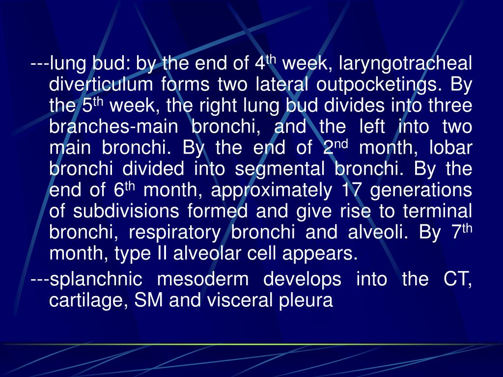 ---lung bud: by the end of 4