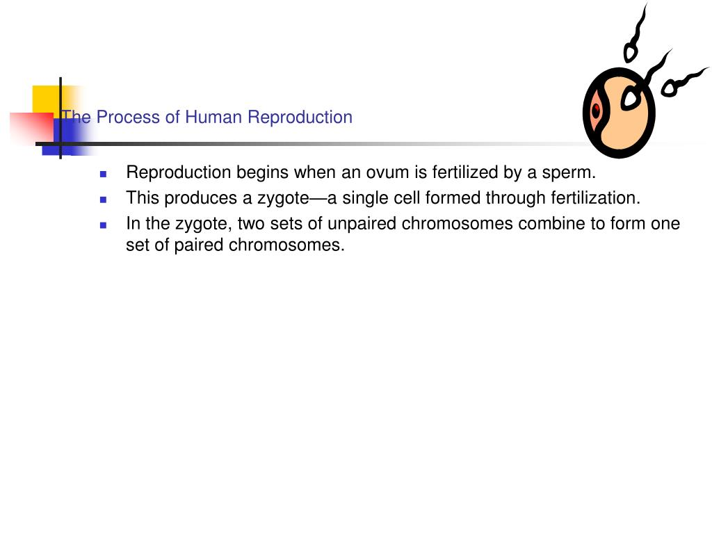The Process of Human Reproduction