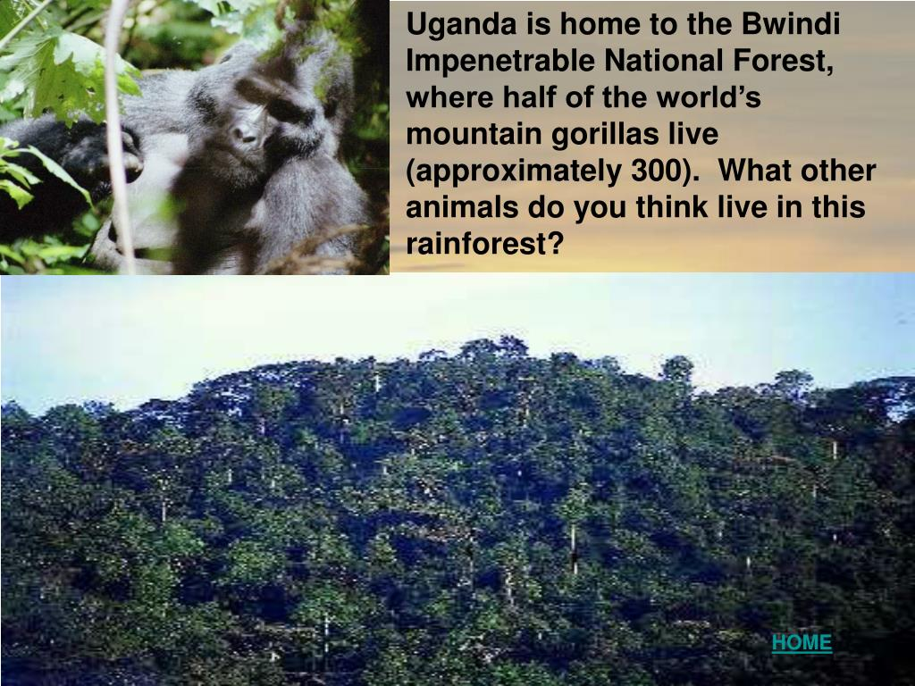 Uganda is home to the Bwindi Impenetrable National Forest, where half of the world's mountain gorillas live (approximately 300).  What other animals do you think live in this rainforest?
