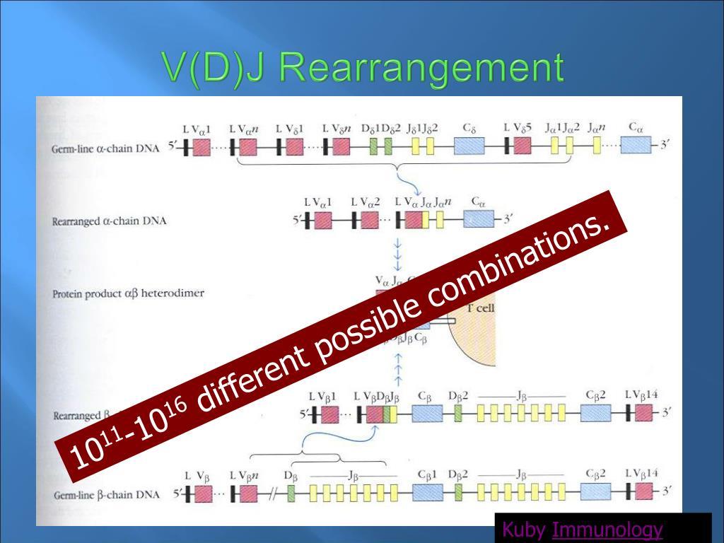 V(D)J Rearrangement