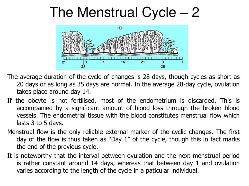 The Menstrual Cycle – 2