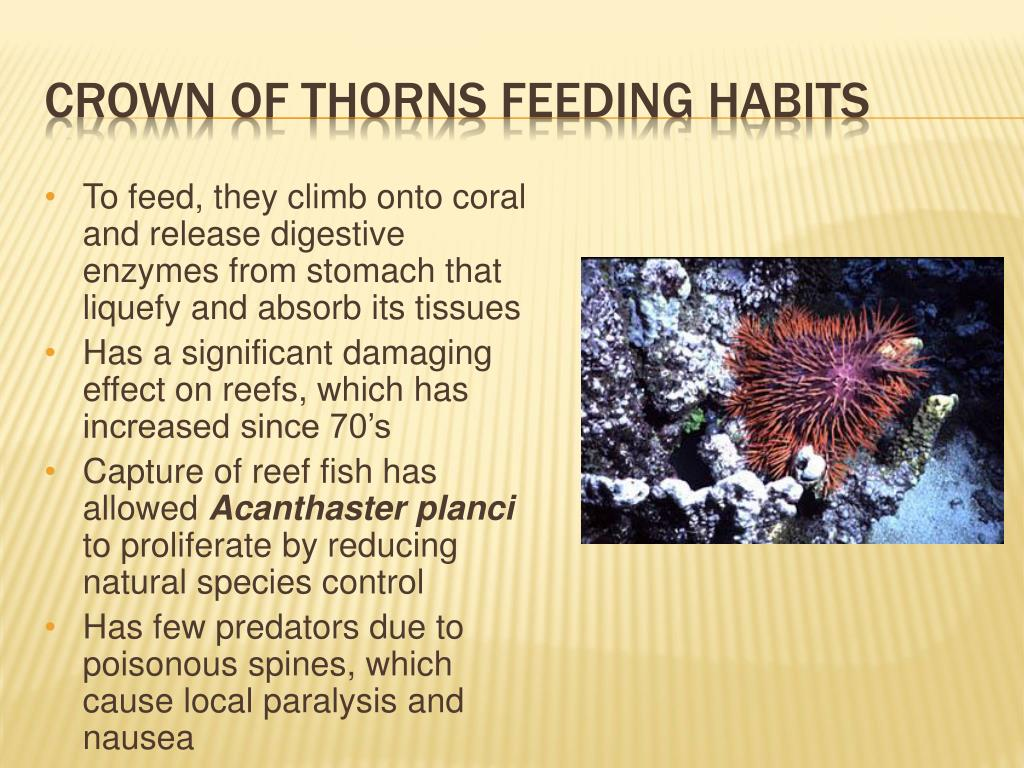 To feed, they climb onto coral and release digestive enzymes from stomach that liquefy and absorb its tissues
