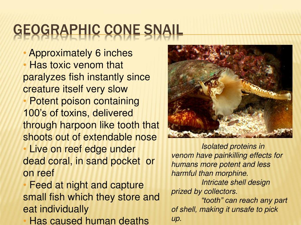 Geographic Cone snail