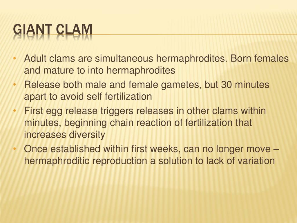 Adult clams are simultaneous hermaphrodites. Born females and mature to into hermaphrodites