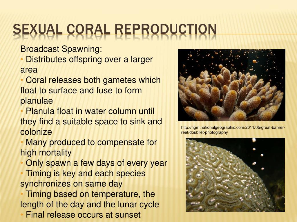 Sexual Coral Reproduction