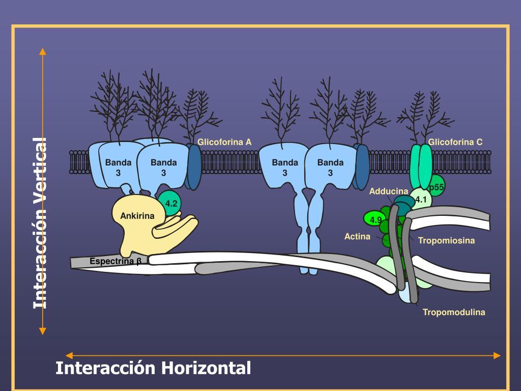 Glicoforina A