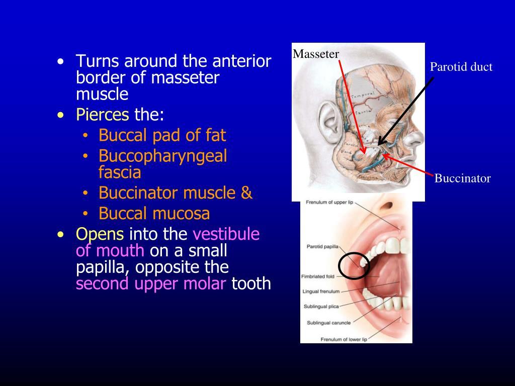 Turns around the anterior border of masseter muscle