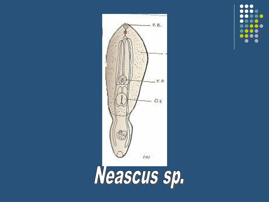 Neascus sp.