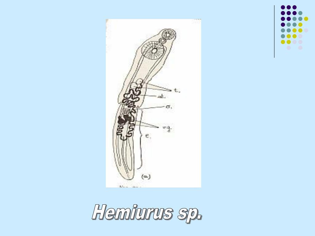 Hemiurus sp.