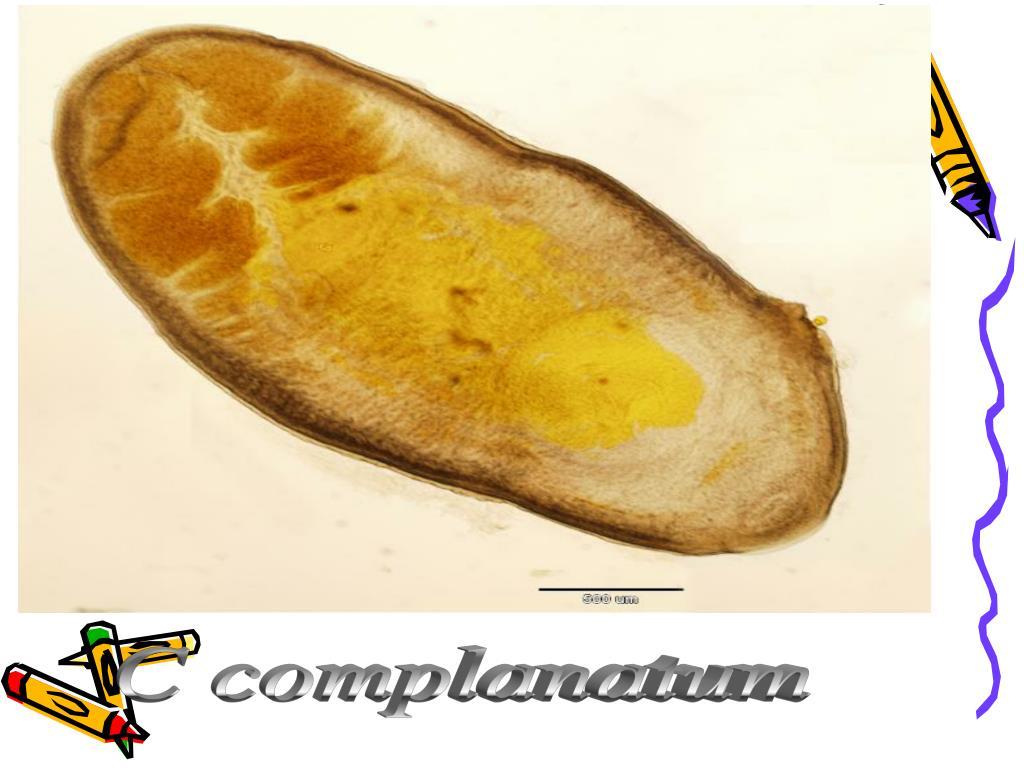 C complanatum