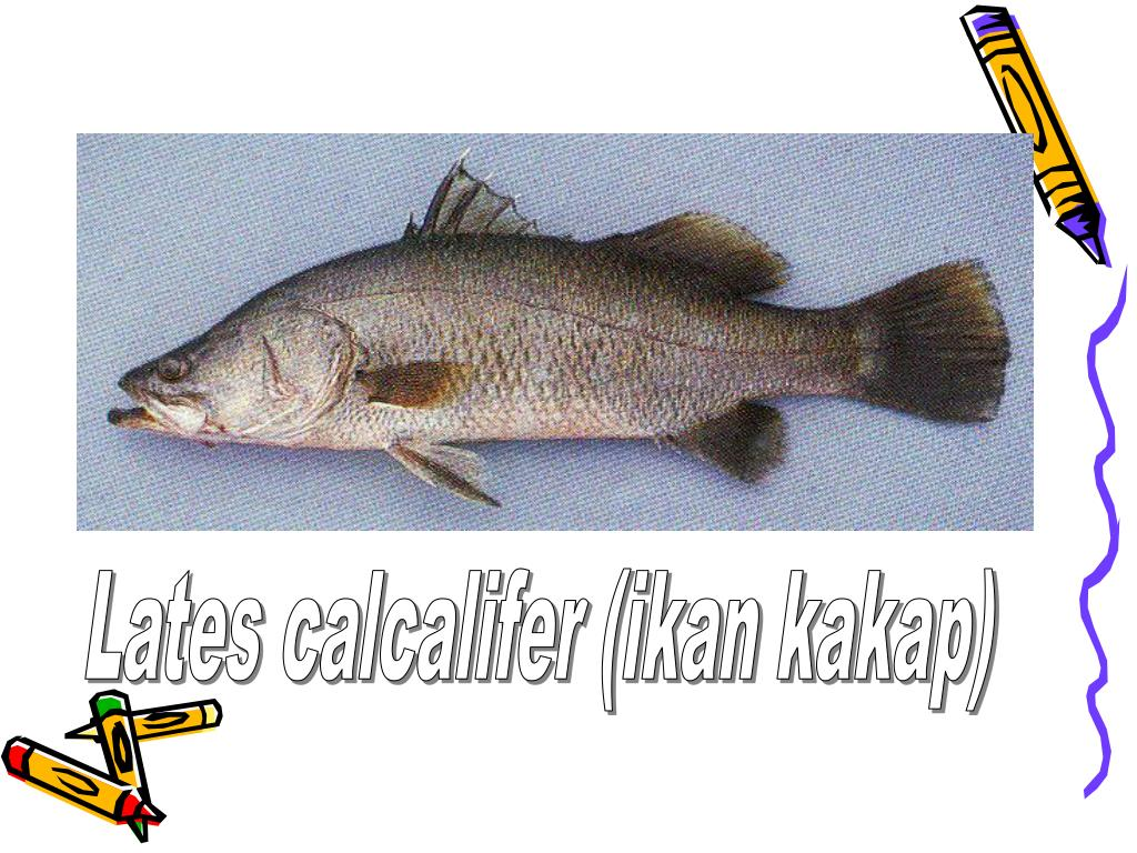 Lates calcalifer (ikan kakap)