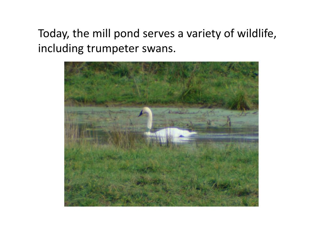 Today, the mill pond serves a variety of wildlife, including trumpeter swans.