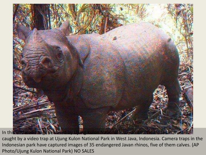 In this undated image released by Ujung Kulon National Park, an adult male Javan rhino is caught by ...