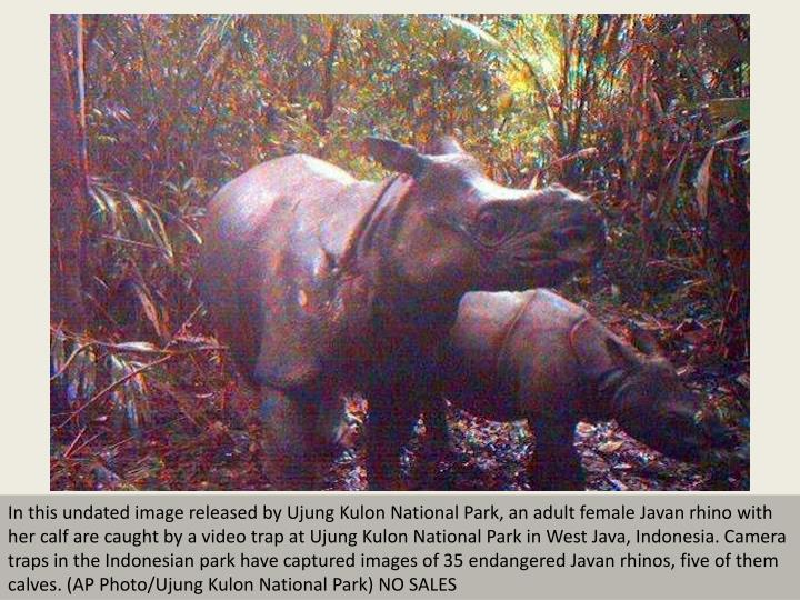 In this undated image released by Ujung Kulon National Park, an adult female Javan rhino with her ca...