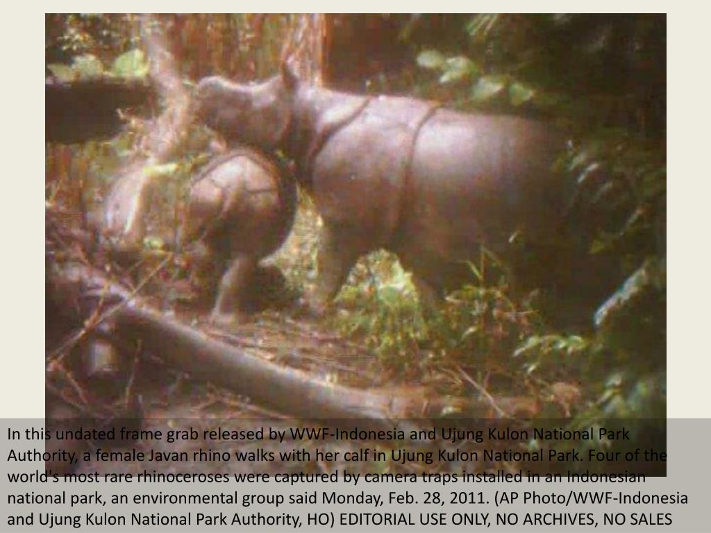 In this undated frame grab released by WWF-Indonesia and Ujung Kulon National Park Authority, a female Javan rhino walks with her calf in Ujung Kulon National Park. Four of the world's most rare rhinoceroses were captured by camera traps installed in an Indonesian national park, an environmental group said Monday, Feb. 28, 2011. (AP Photo/WWF-Indonesia and Ujung Kulon National Park Authority, HO) EDITORIAL USE ONLY, NO ARCHIVES, NO SALES