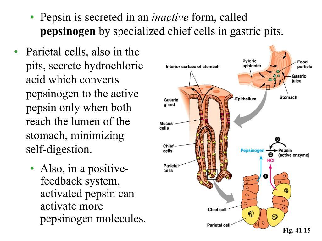 Pepsin is secreted in an