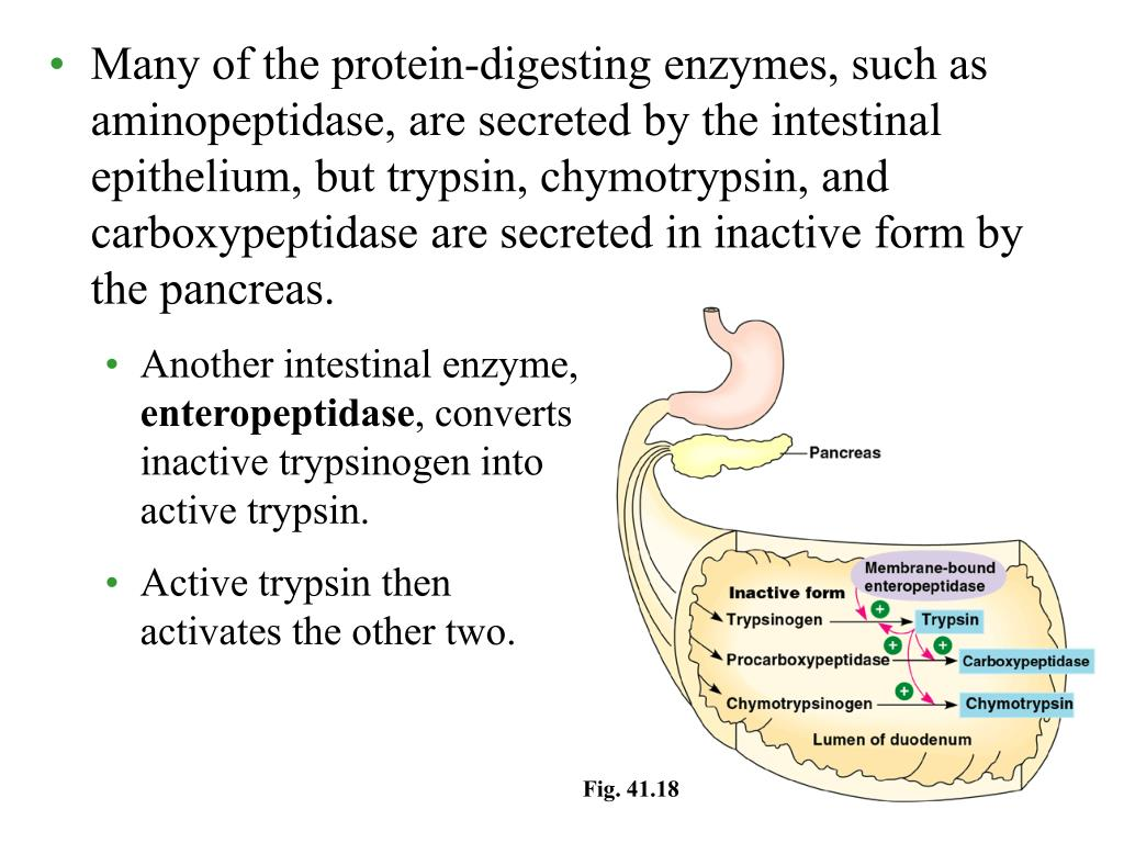 Many of the protein-digesting enzymes, such as aminopeptidase, are secreted by the intestinal epithelium, but trypsin, chymotrypsin, and carboxypeptidase are secreted in inactive form by the pancreas.