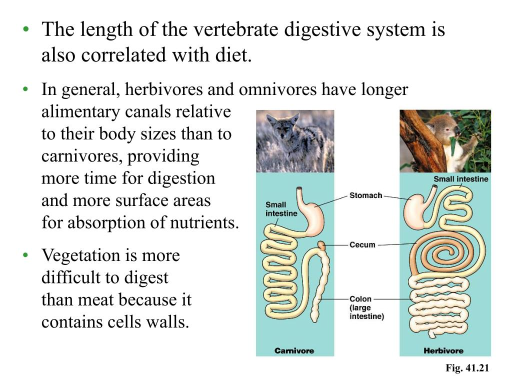 The length of the vertebrate digestive system is also correlated with diet.