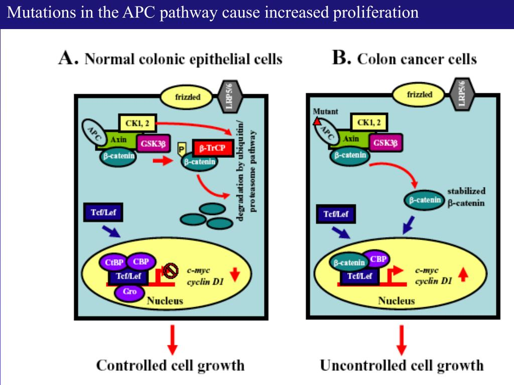 Mutations in the APC pathway cause increased proliferation