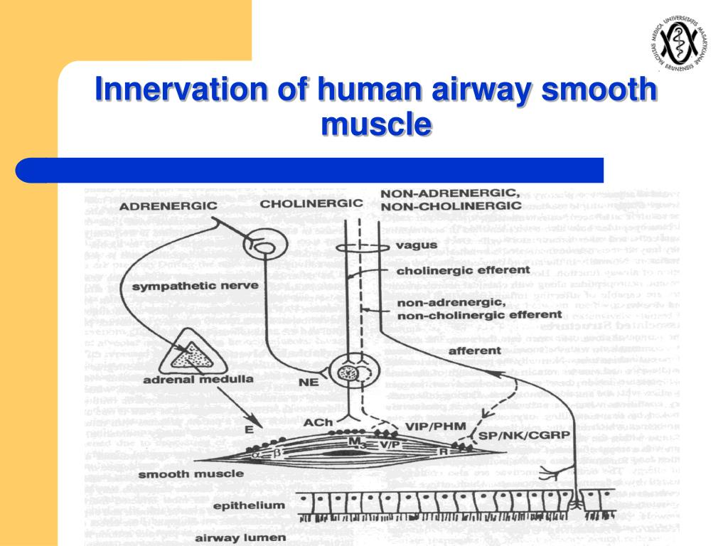 Innervation of human airway smooth muscle