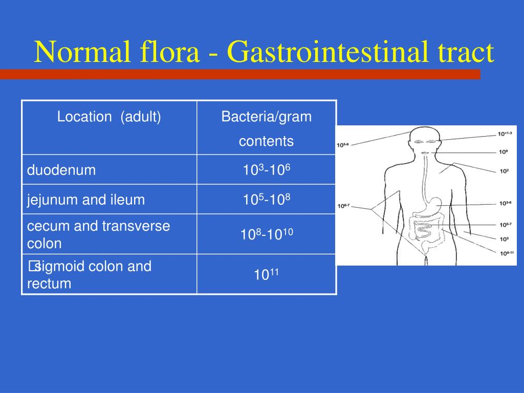 Normal flora - Gastrointestinal tract