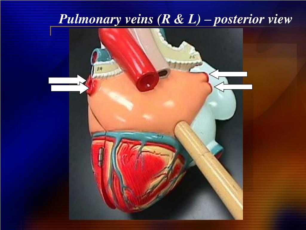 Pulmonary veins (R & L) – posterior view