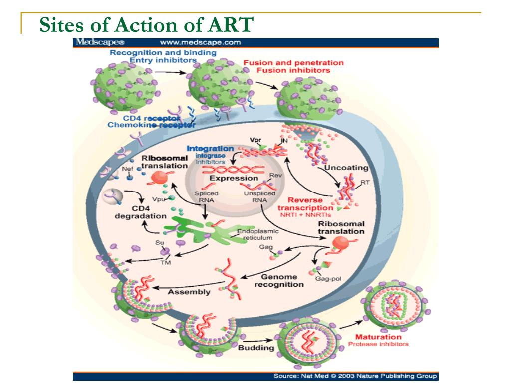 Sites of Action of ART