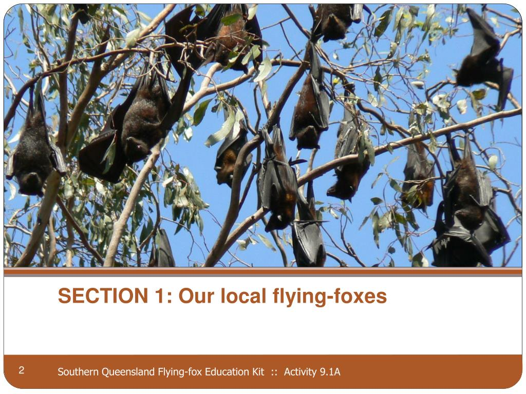 SECTION 1: Our local flying-foxes