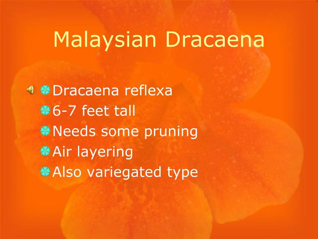 Malaysian Dracaena