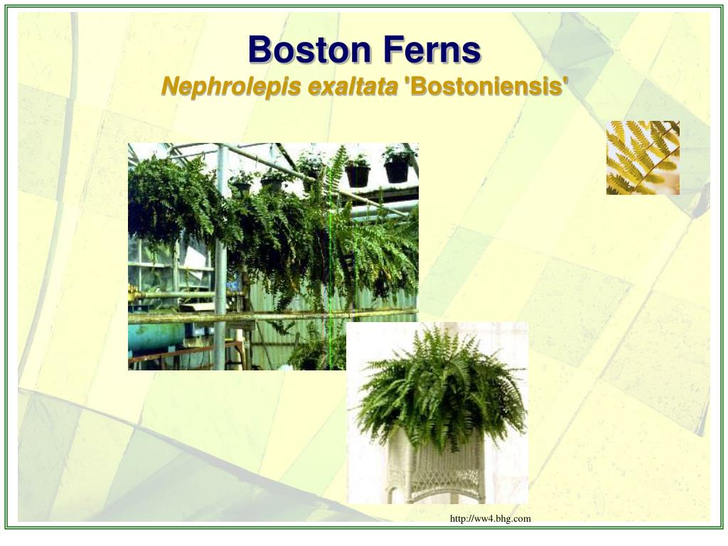 Boston Ferns