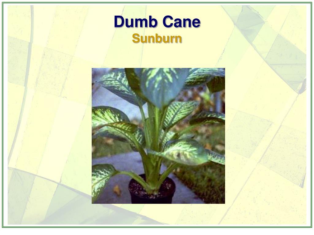 Dumb Cane