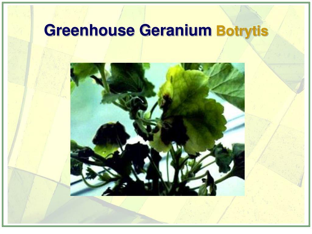 Greenhouse Geranium