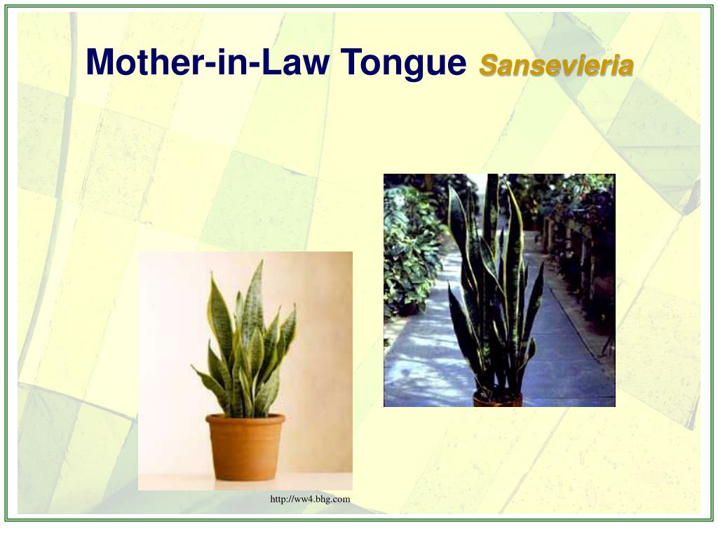 Mother-in-Law Tongue