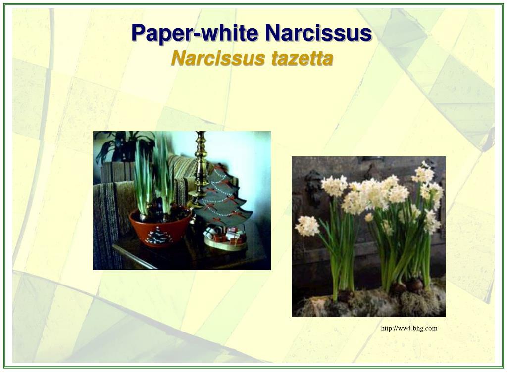 Paper-white Narcissus