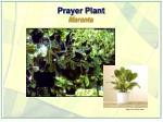 prayer plant maranta