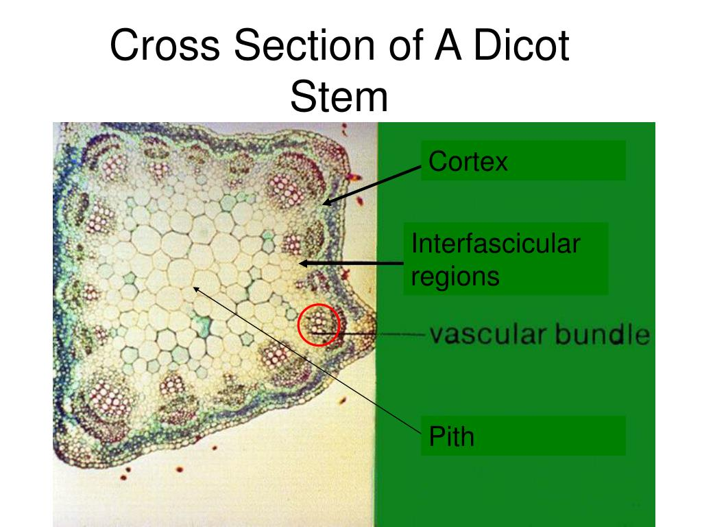 Cross Section of A Dicot Stem