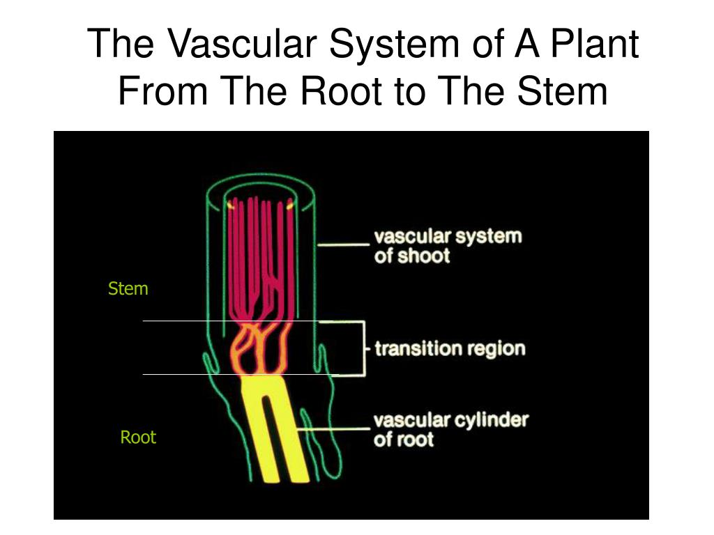 The Vascular System of A Plant