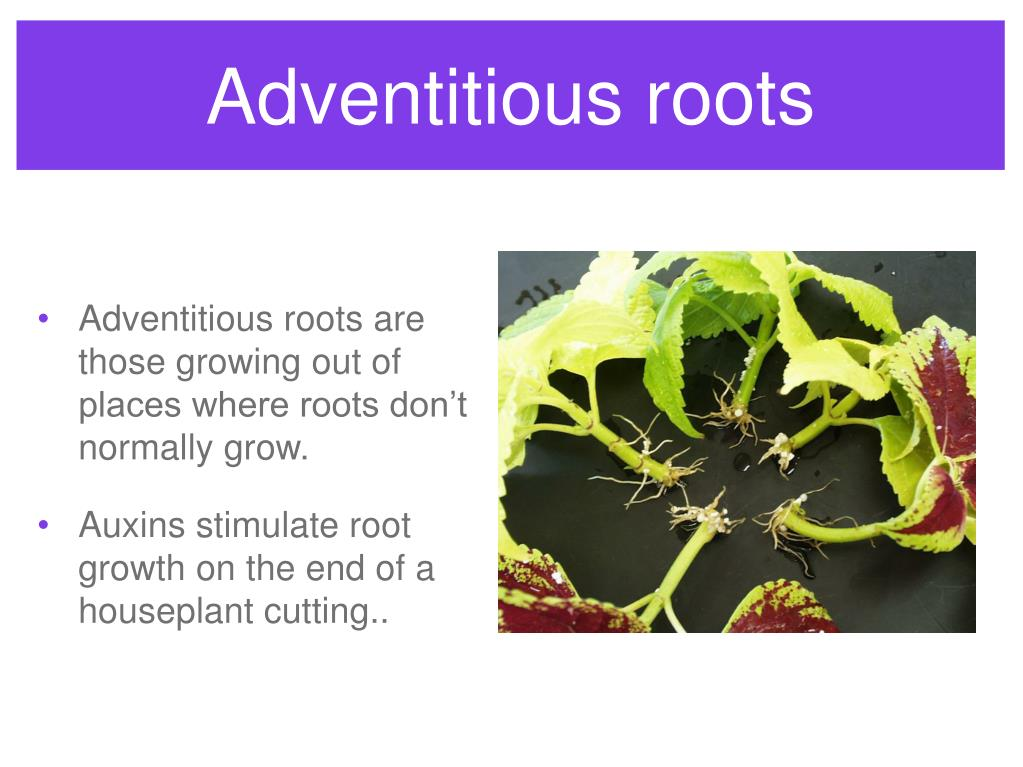 Adventitious roots