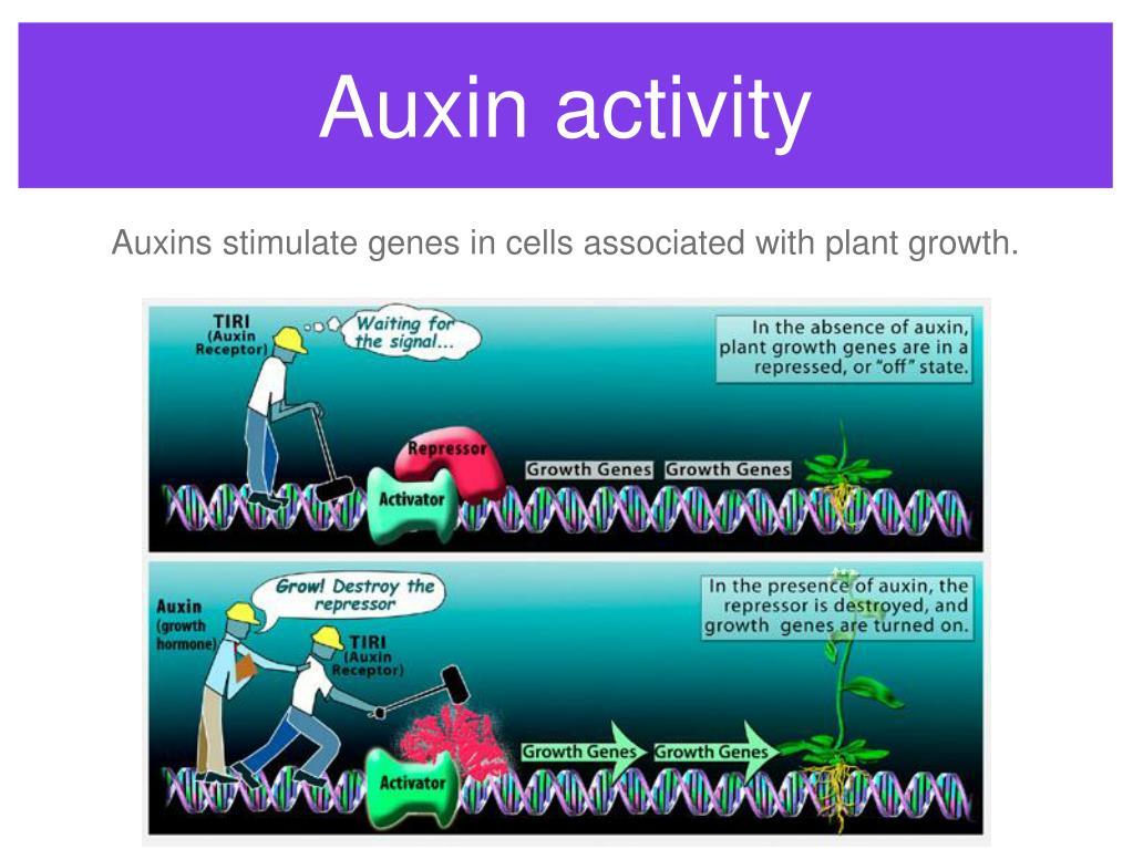 Auxin activity