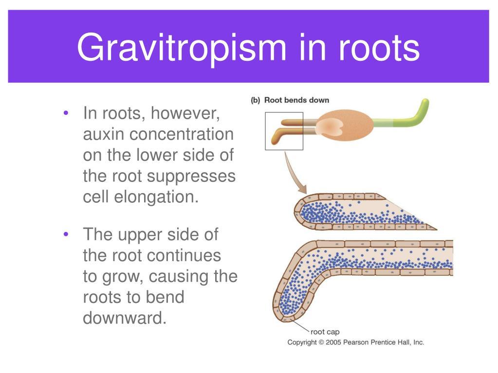Gravitropism in roots