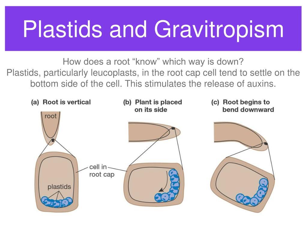 Plastids and Gravitropism